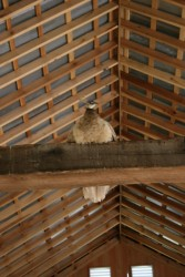 Interior View of Roof Framing with Pea Hen